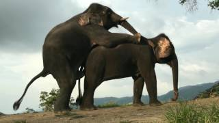 ELEPHANT MATING WITH FEMALE - Elephant Mate/ Breading Video width=