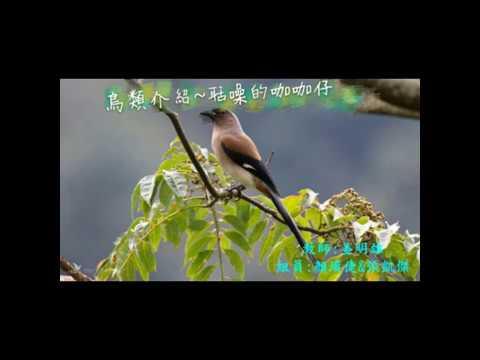 校園生態筆記~樹鵲