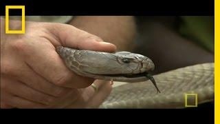 World's Largest Spitting Cobra | National Geographic