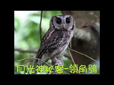 校園生態筆記~領角鴞
