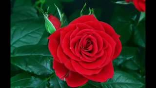 LEO ROJAS-----THE ROSE