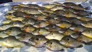 The fish I Caught after seeing the dove in my tree,50 big Bluegill/Bream