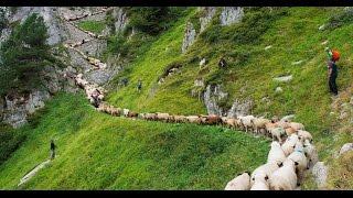 As ovelhas ouvem a voz de seu pastor
