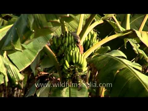 Banana cultivation in Karnataka