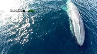 Blue and Gray Whales in Surf, Megapod of Dolphins
