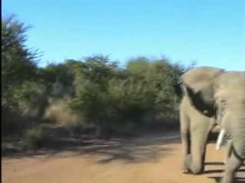 sudden elephant attack