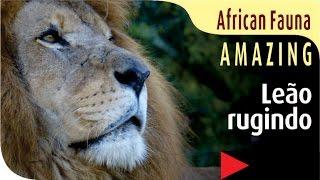 fauna africana REI LEÃO animal selvagem silvestre savana animais world mundo áfrica african