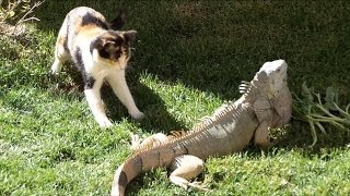 Cat surprise reaction to Green Iguana