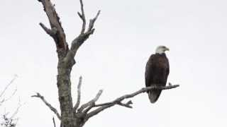 Bald Eagle, Dead Branch Creek, Chesterfield, MA