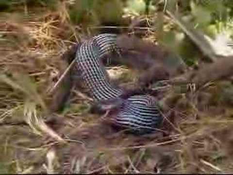Yılan yiyen yılan