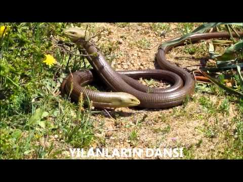 Yılanların Dansı -Flirtation of Snakes (HD)