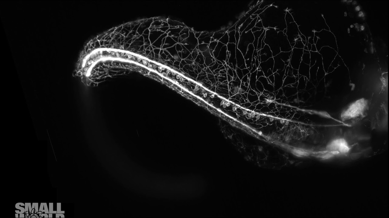 Award-Winning Microscopic Video Of Growing Zebrafish Embryos Is Mesmerising