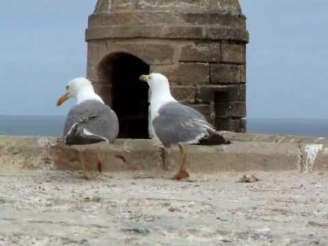 Seagulls in Essaouira, Morocco