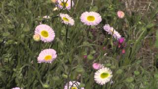 Sedona, AZ. Spring Flowers (HD)