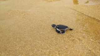Leatherback Turtle - A matter of survival