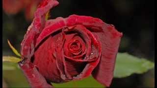 Válka růží