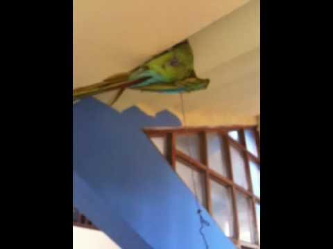 Hotel birds at Casa Mateo, Jinotepe, Nicaragua