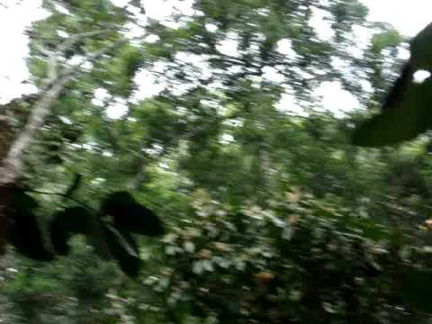 A closer view of Hoolock Gibbon (Ulluk) @ Lawachara