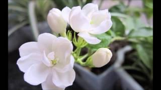 Jasmine - Murray James Morrison
