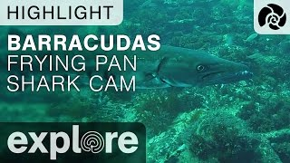 Barracudas - Frying Pan Shark Cam - Live Cam Highlight