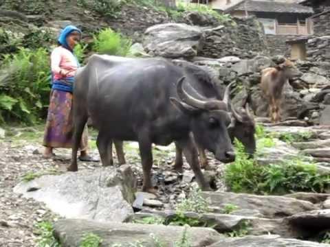 2012 Chalisegaon 2 (Nepal) – Woman Moving Buffalo