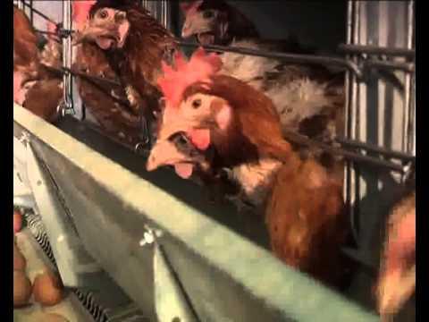 Türem Yumurta Tanıtım Videosu - Türem Tavukçuluk İşletmeleri A.Ş.