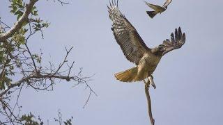 Eagle vs Snake   Black Mamba Fight With Eagle HD width=