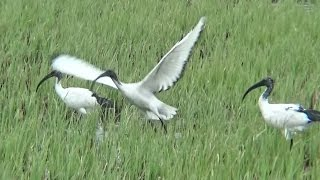 Sacred Ibis_ flying away from grass field.