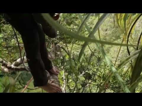 Climb Everything – Kauri Tree