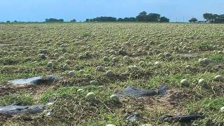 Rocky Ford cantaloupe farmers recover after major hail storm