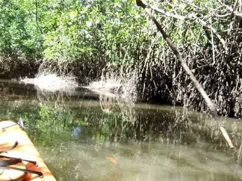 Mangrove Kayaking in Nicaragua II