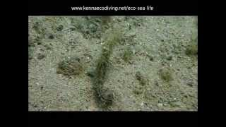 Kenna Eco Diving Seahorse Project: Meet Mr Itchy