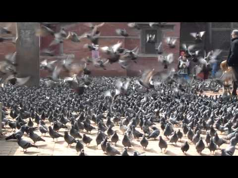 Nepal: Kathmandu w/ pigeons & cow