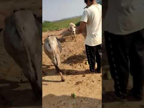 Up cow Feeding