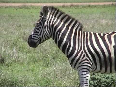 Jonge zebra's en neushoorn