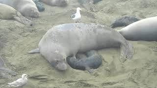 Elephant seal mom & pup video San Simeon, CA   2019