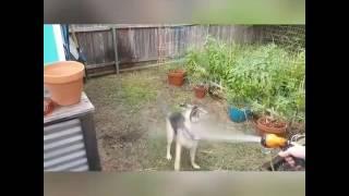 German Shepherd: she's a maniac