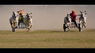 Bullock Cart Racing