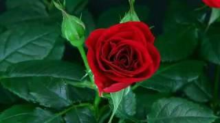 Flower Blooming Rose