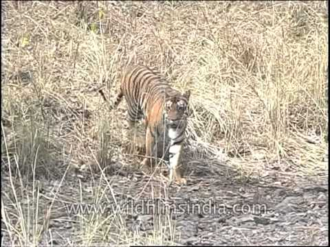 Lonely tiger cub roaming in central jungle of India