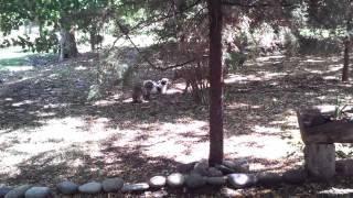 Cira y greta contra pitbull