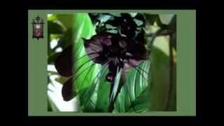 Juodoji orchidėja.../RL/