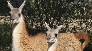 Call of a Guanaco