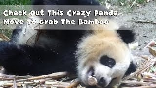 Check Out This Crazy Panda Move To Grab The Bamboo | iPanda