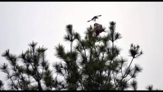 Hawk captures baby bird - listen to the sounds of the parents