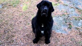 Newfoundland barking