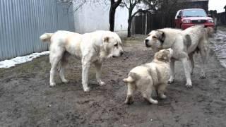 Central Asian Shepherd Dog  Stredoázijský ovčiak kennel Bukovina Tatry