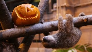 Baby sloth Edward gets ready for Halloween!