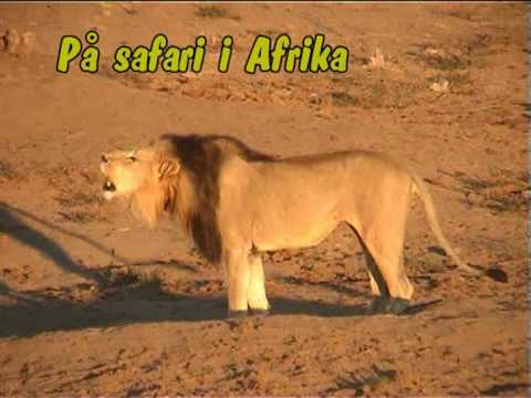 The amazing lions of South Africa.mpg
