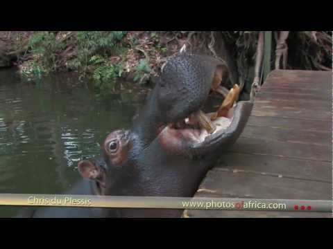 Jessica the Hippo – South Africa Travel Channel 24 – Wildlife